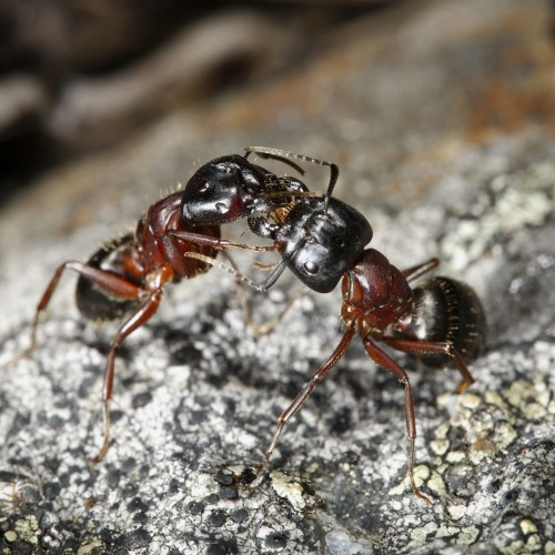 Camponotus Herculeanus Queen Ant + Workers