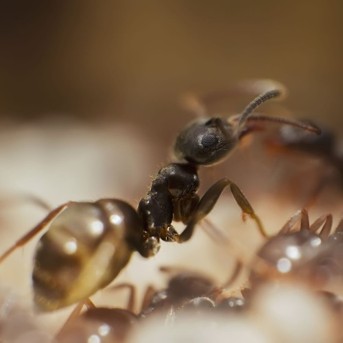Lasius Niger Queen Ant + Workers