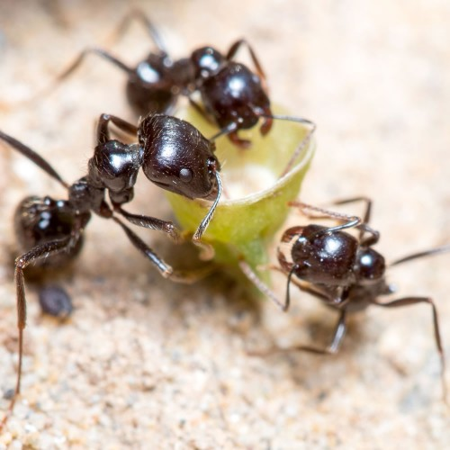 Messor Barbarus Queen Ant + Workers